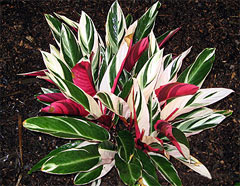 фото цветок калатея