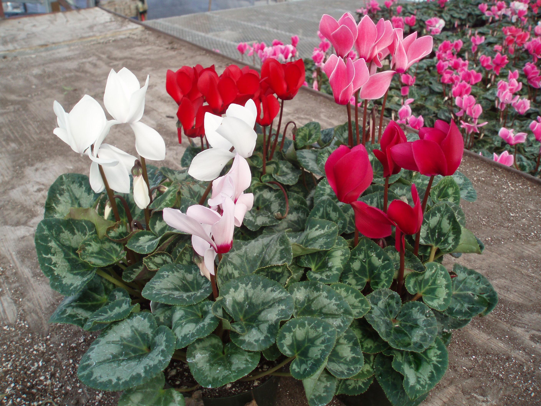 Цветы комнатные цикламен фото