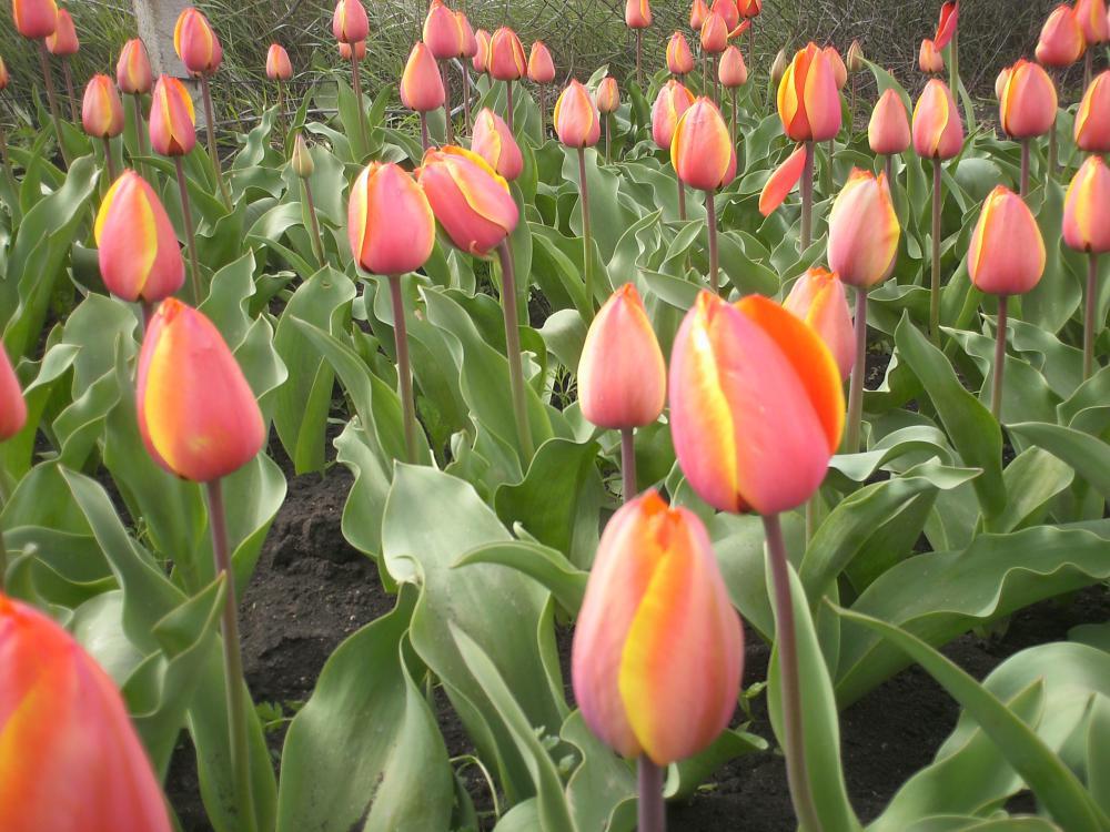 Подкормка осенью тюльпанов