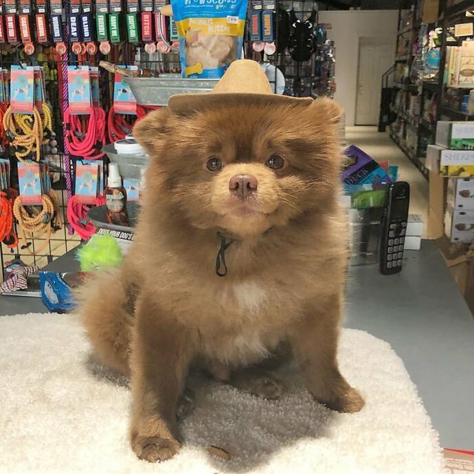 Шпиц-милаха завоевывает Инстаграмм. История успеха нестандартного щенка Бертрама в 2019 году