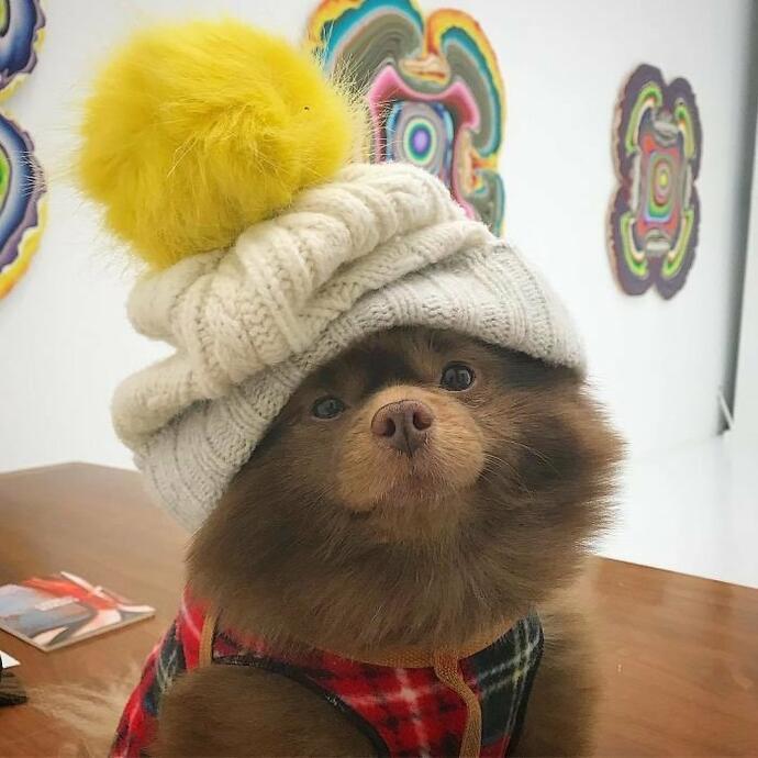 Шпиц-милаха завоевывает Инстаграмм. История успеха нестандартного щенка Бертрама рекомендации