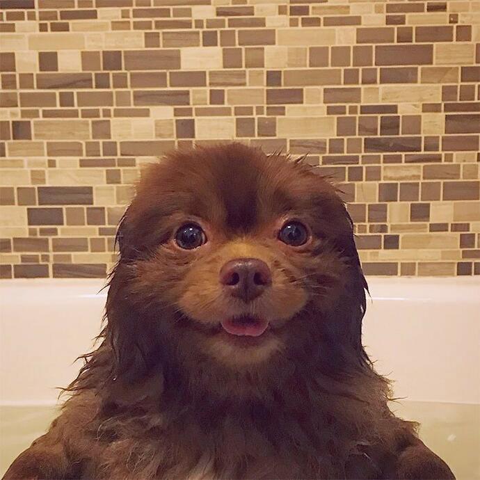 Шпиц-милаха завоевывает Инстаграмм. История успеха нестандартного щенка Бертрама новые фото