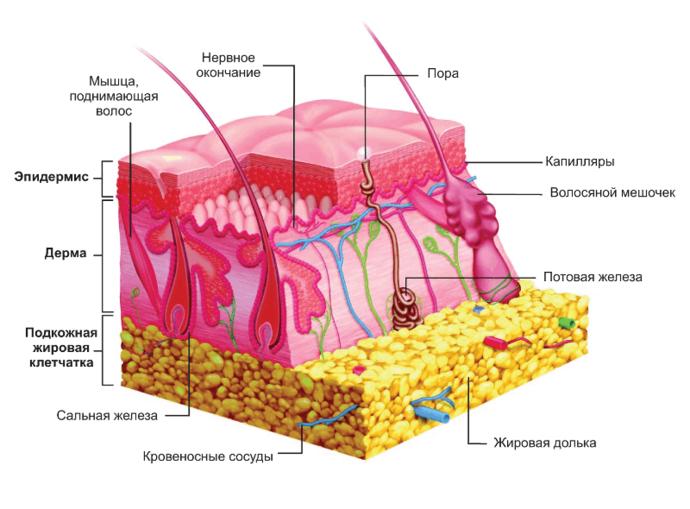 строение дермы на клеточном уровне