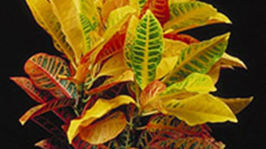 Выращивание кротона. Золотая осень на окне